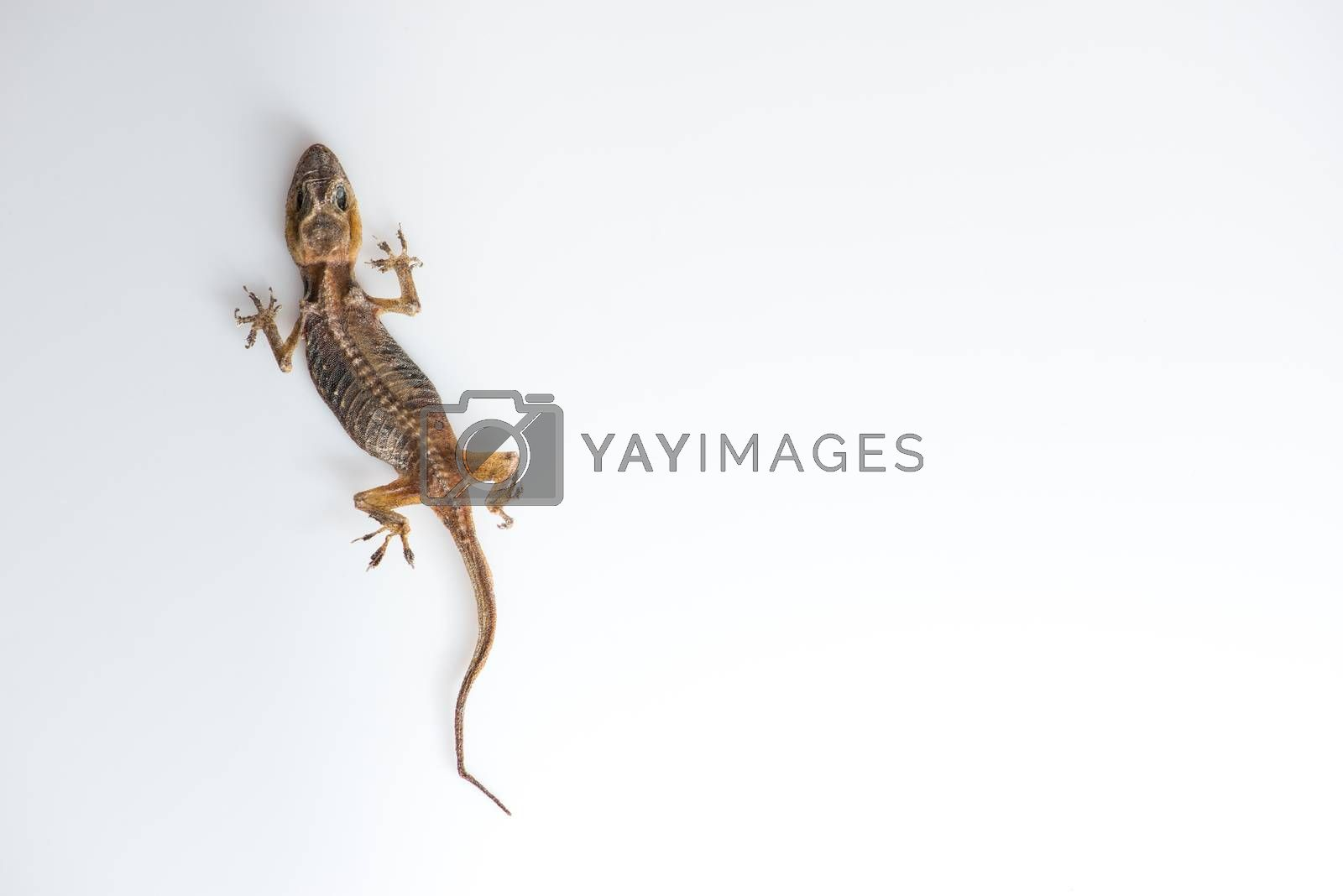 Royalty free image of lizard dry by antpkr