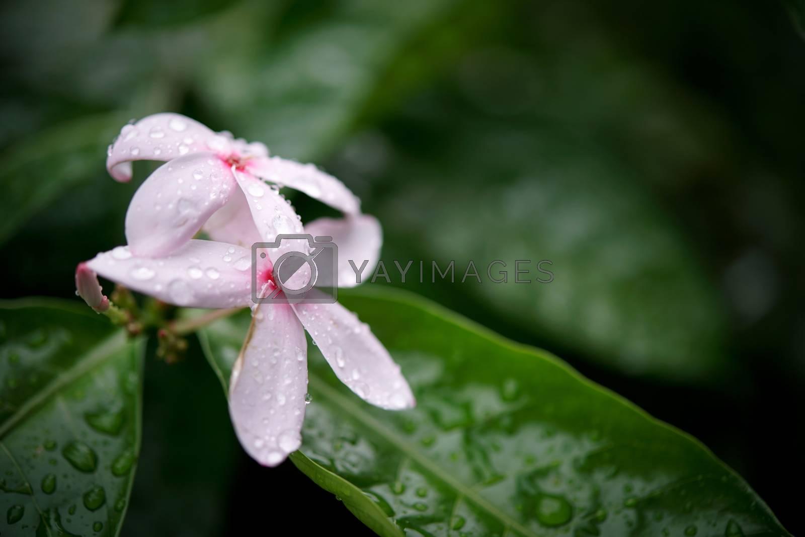 Royalty free image of pink kopsia flowers by antpkr