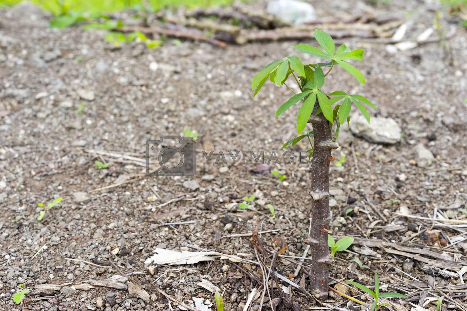 cassava tree  by sakchaineung