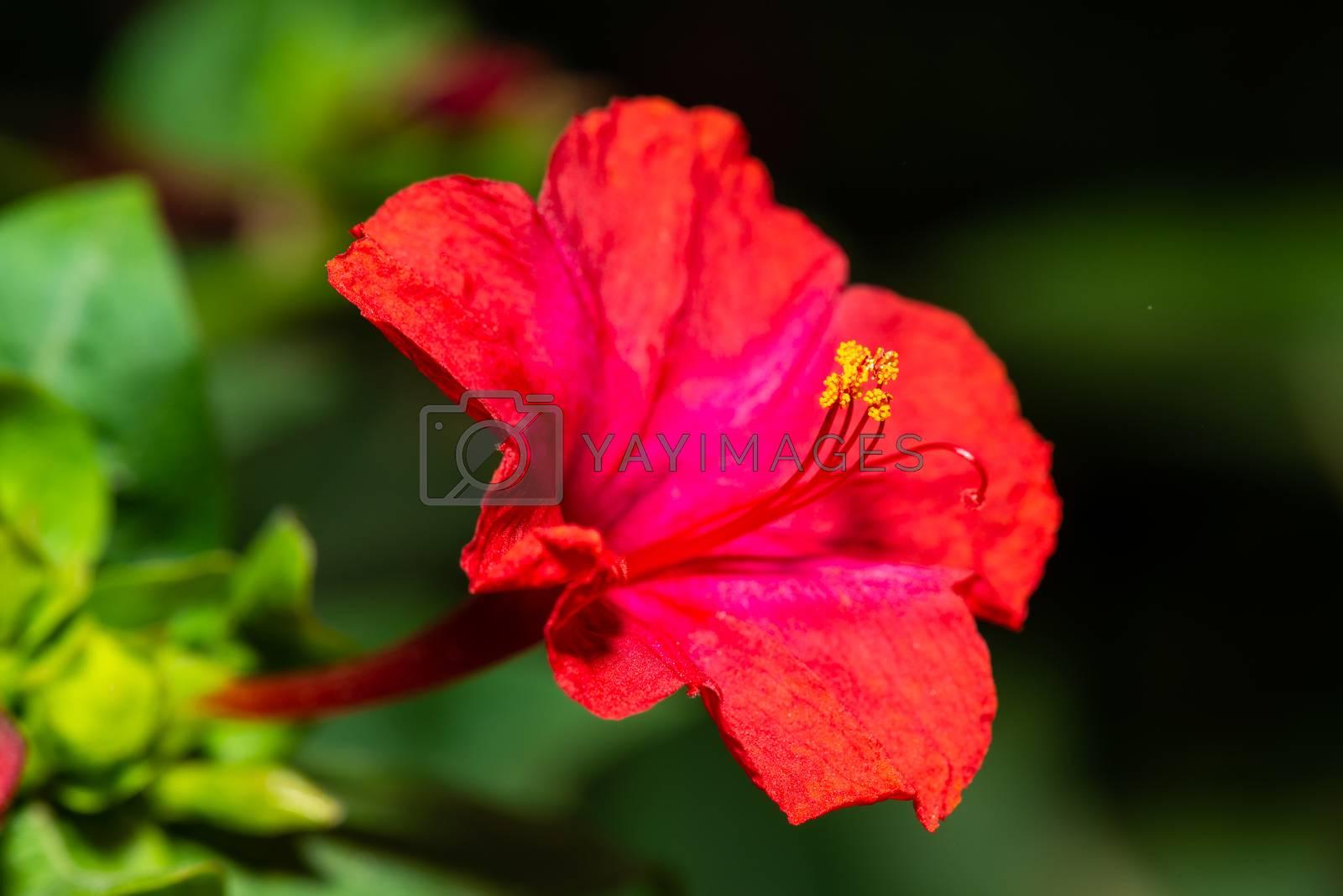 Red four o'clock flower (Mirabilis Jalapa) macro shot