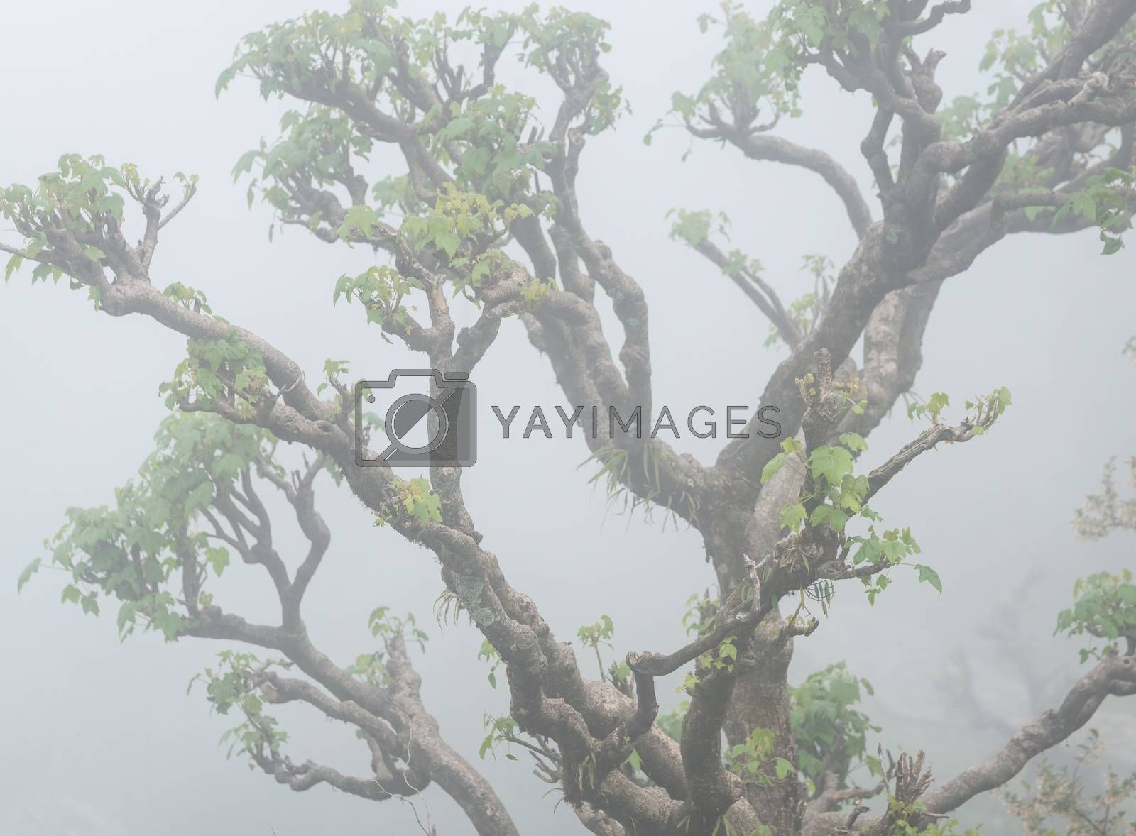 Closeup of a twisted tree in the fog