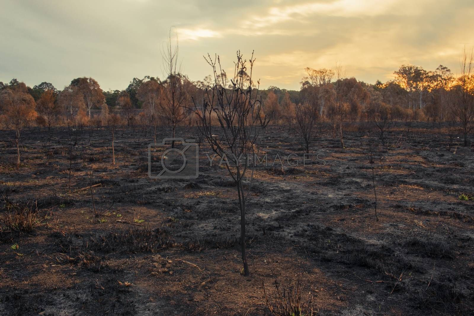 Result after a controlled fire burn near Collingwood Park, Ipswich City, Queensland, Australia.