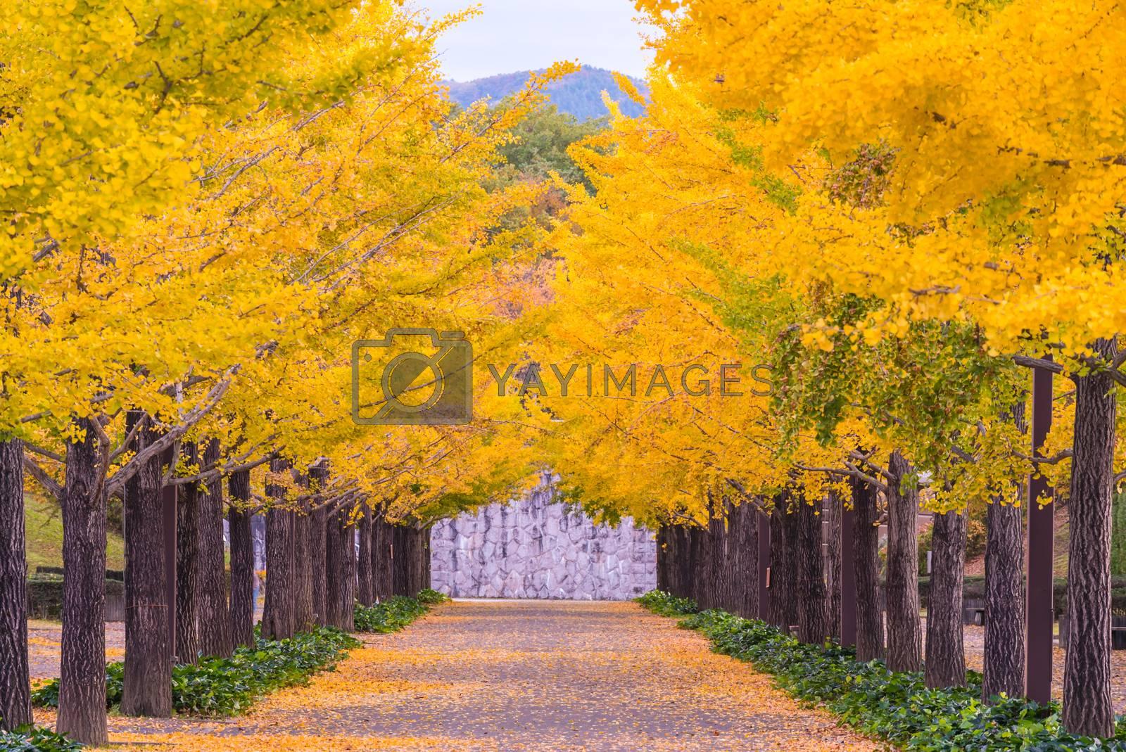Ginkgo Road at Bandai Azuma Sport park Fukushima Japan