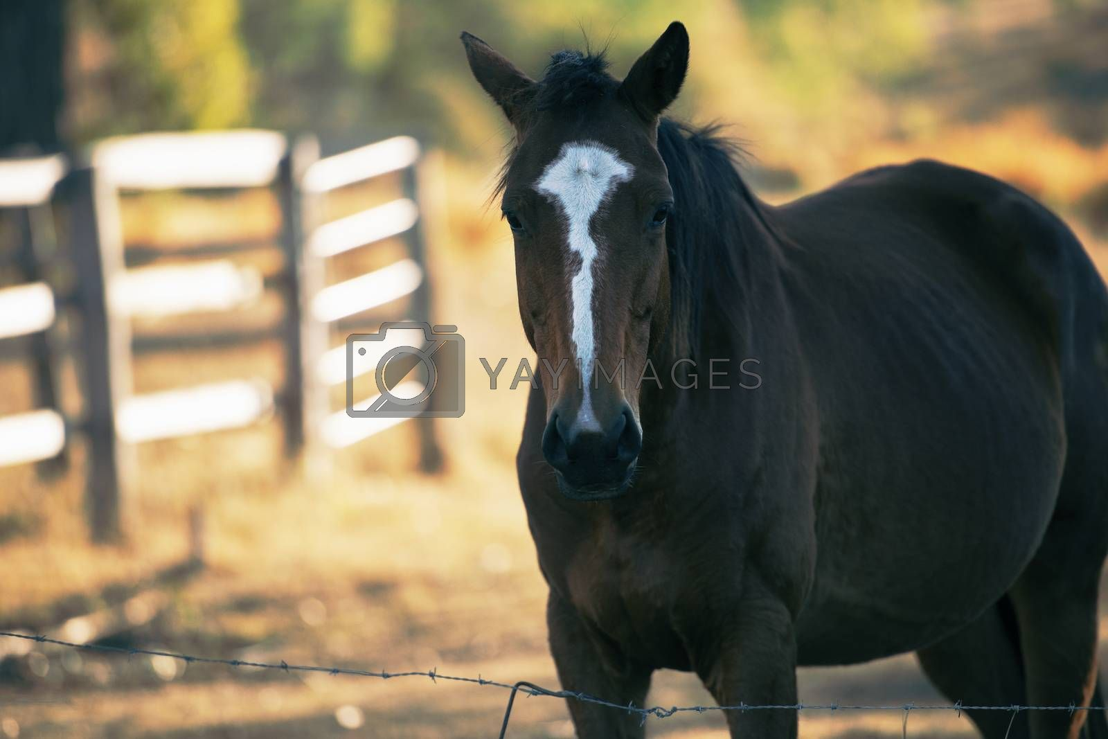 Australian horse in the paddock during the day
