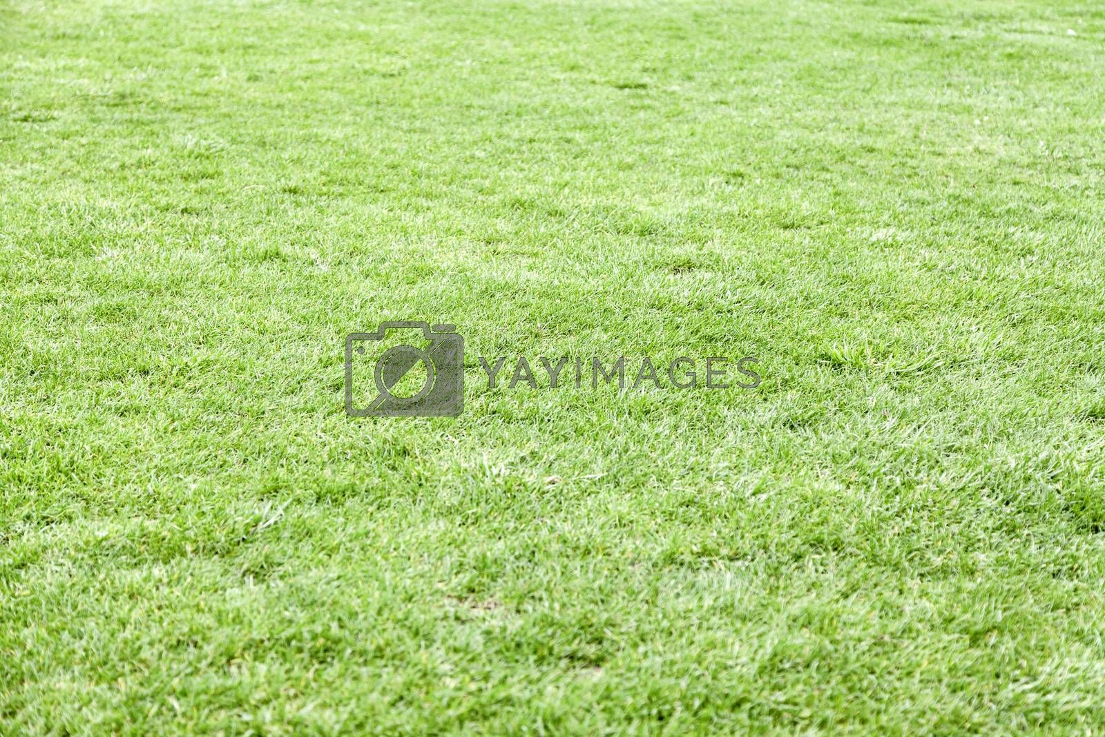 Green grass, detail of grass in a field