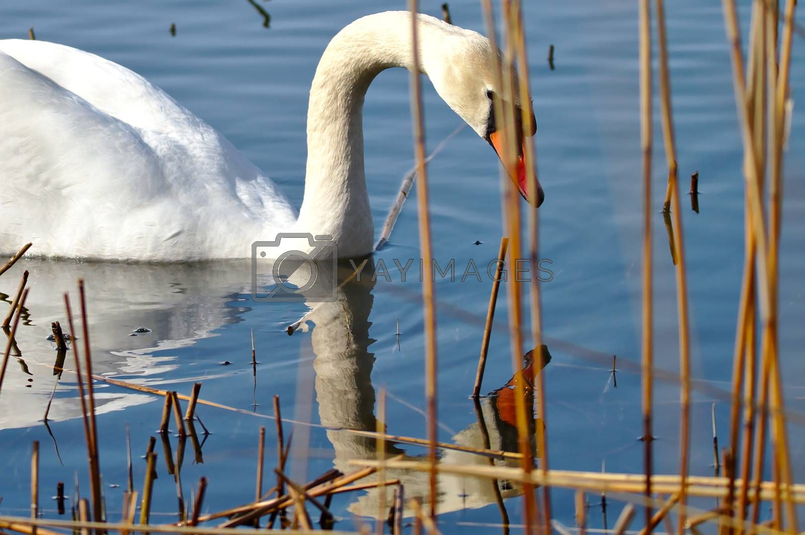 Gorgeous mute swan looking own reflection on steady water surface.