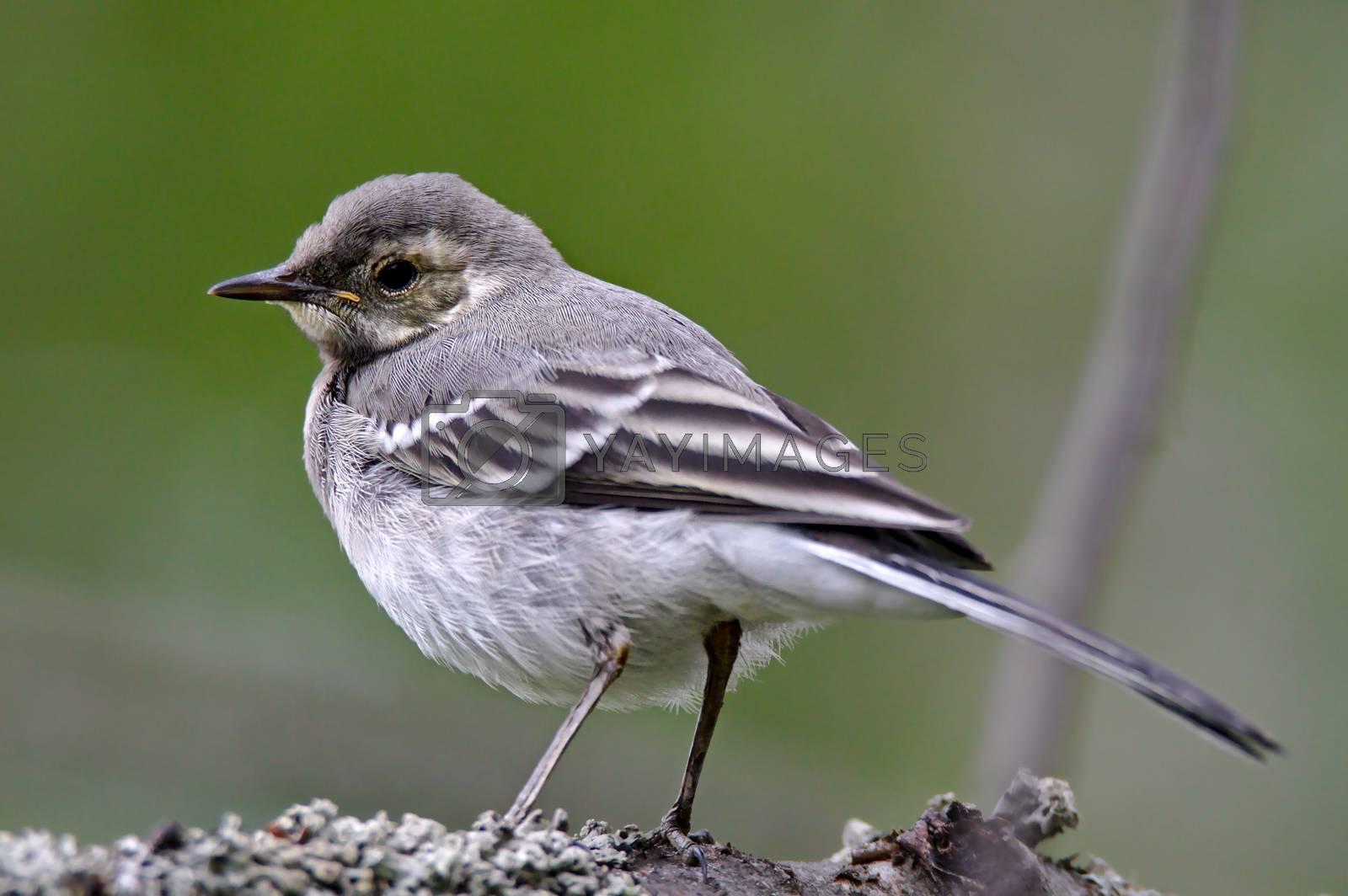 Small grey urban bird sitting on the branch.