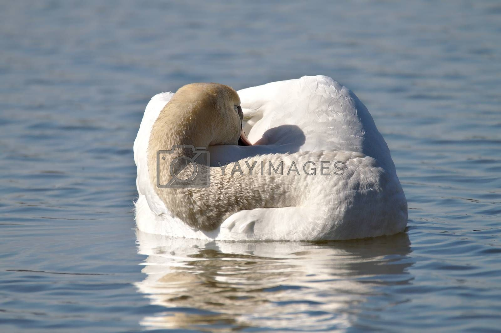 White swan sleeping on water, head hidden between wings