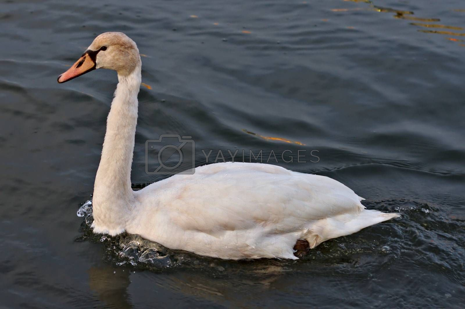 Female mute swan calmly swimming on water. Close photo from the side.