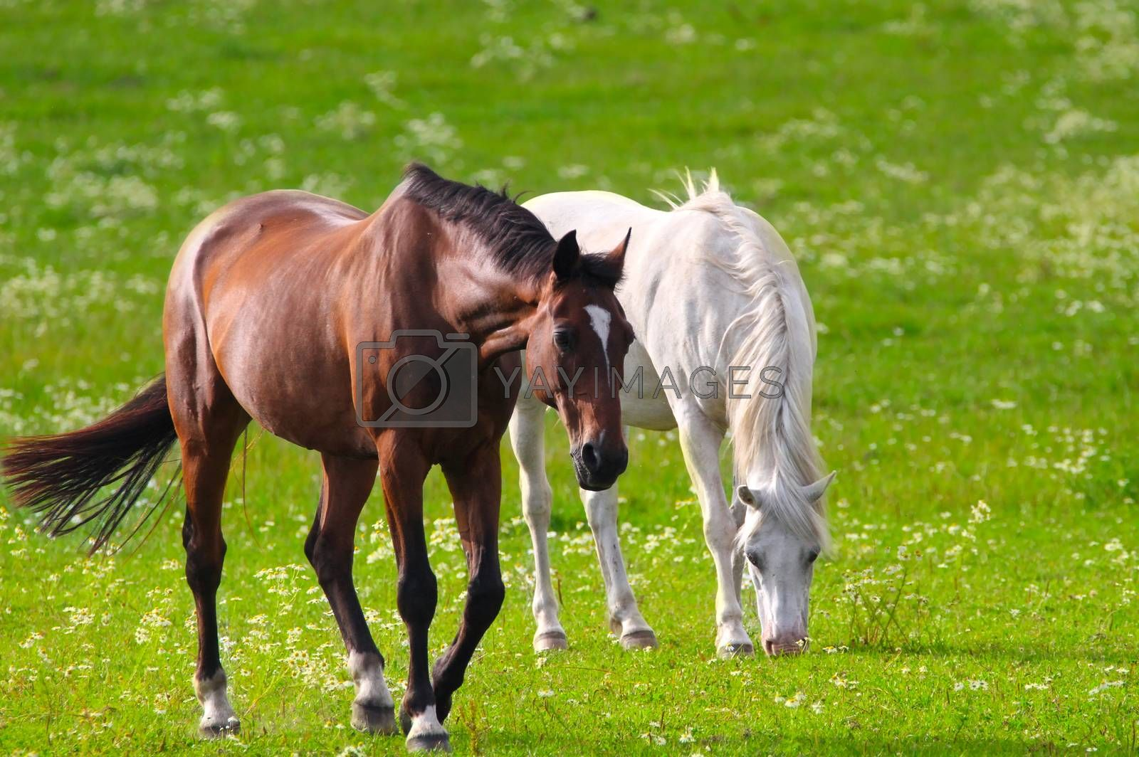 Brown and white horse together on a beautiful green field in summertime. Brown horse in the front and white horse on background.
