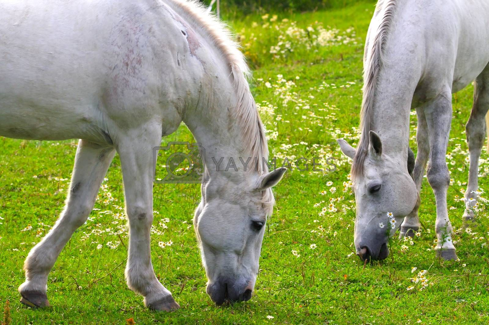 Two white horses eating fresh grass together on a beautiful green field filled with white flowers. Closeup of two horses with heads and front legs visible.