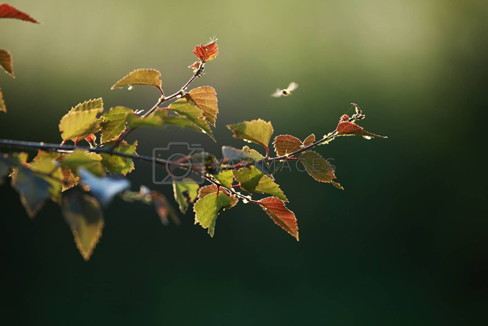 Summer background with young red birch leaves. Red birch branch. Birch branch as background.