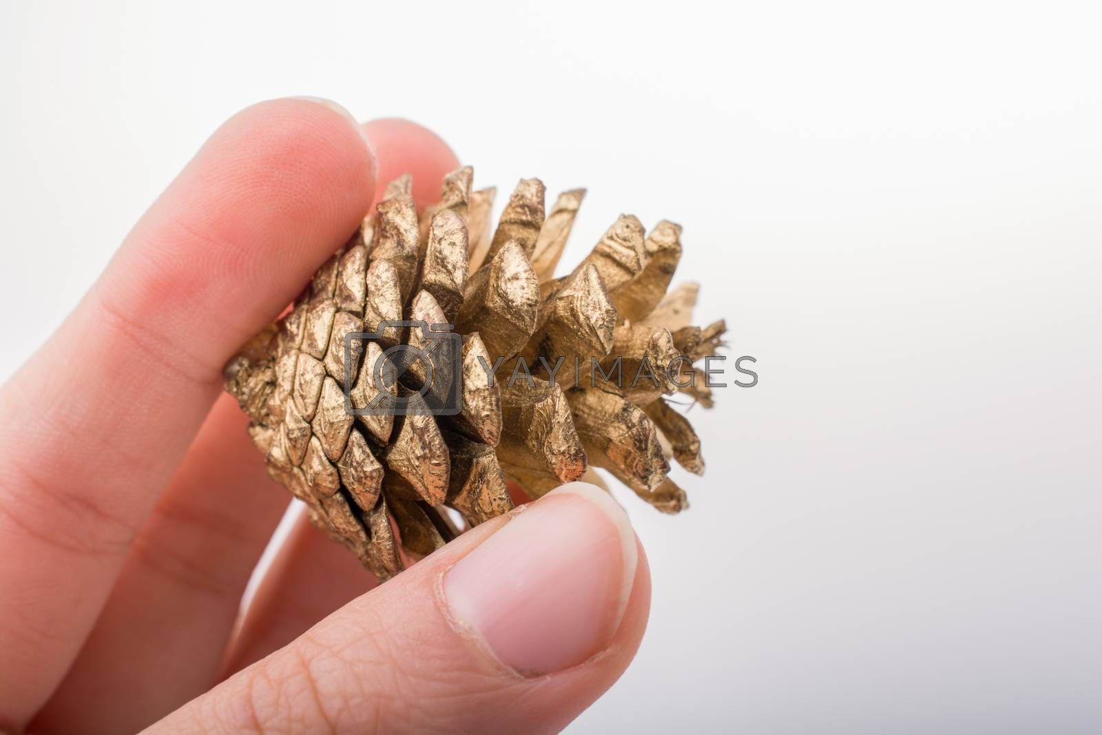 Pine cone in hand on a white background