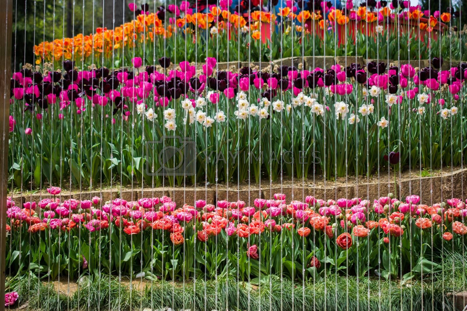 Colorful tulip flowers bloom in the spring  garden