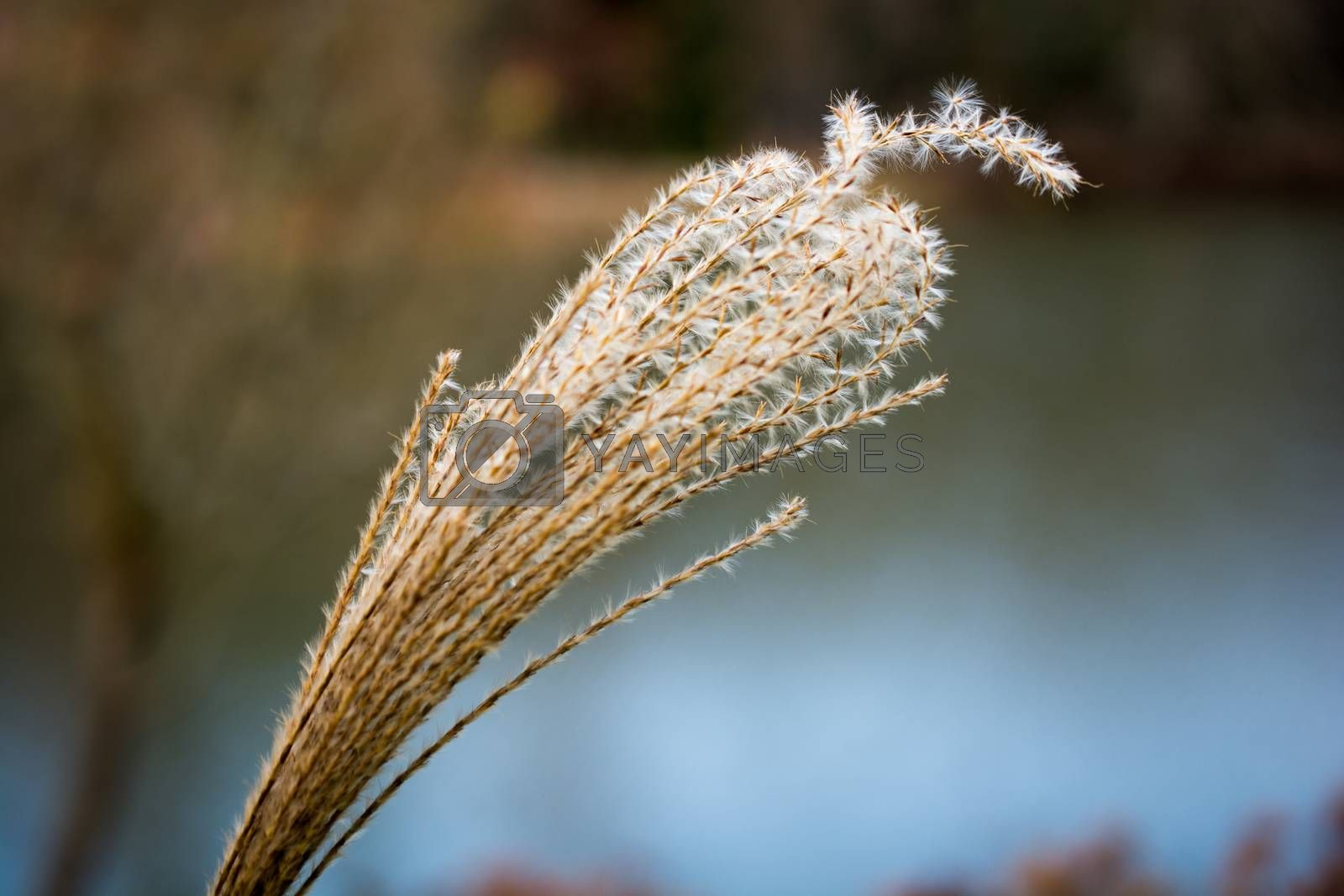 Dry plant found in nature background