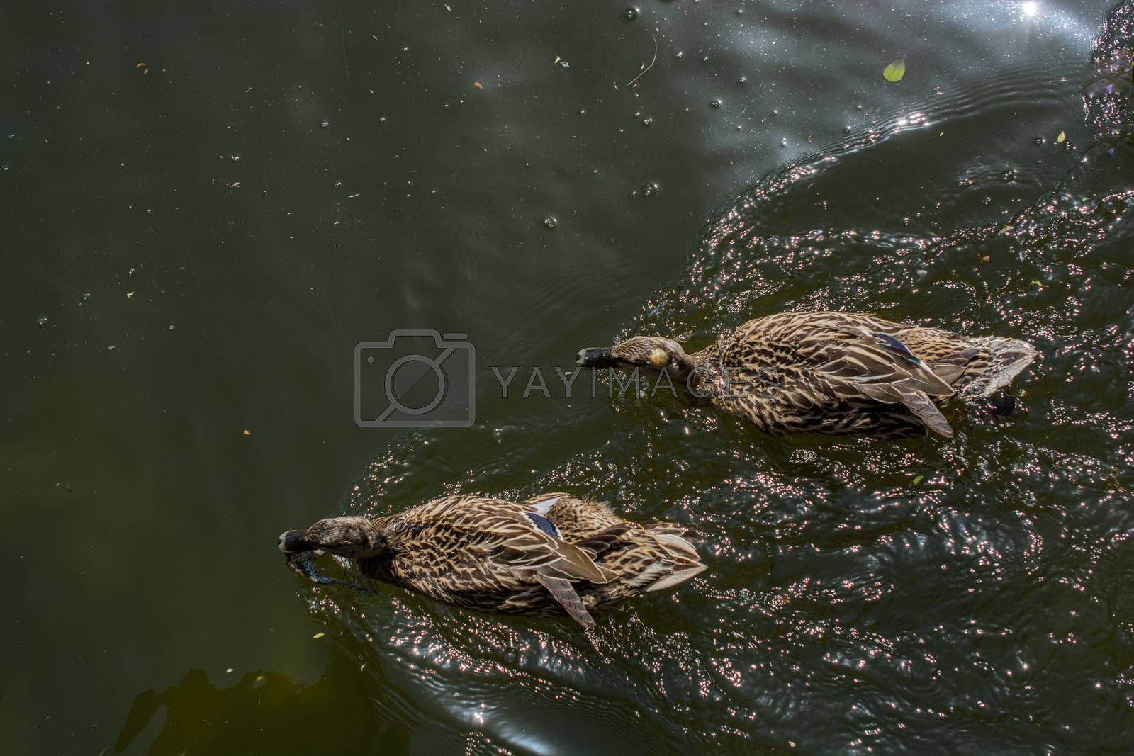 Wild ducks swimming in the waters of the pond