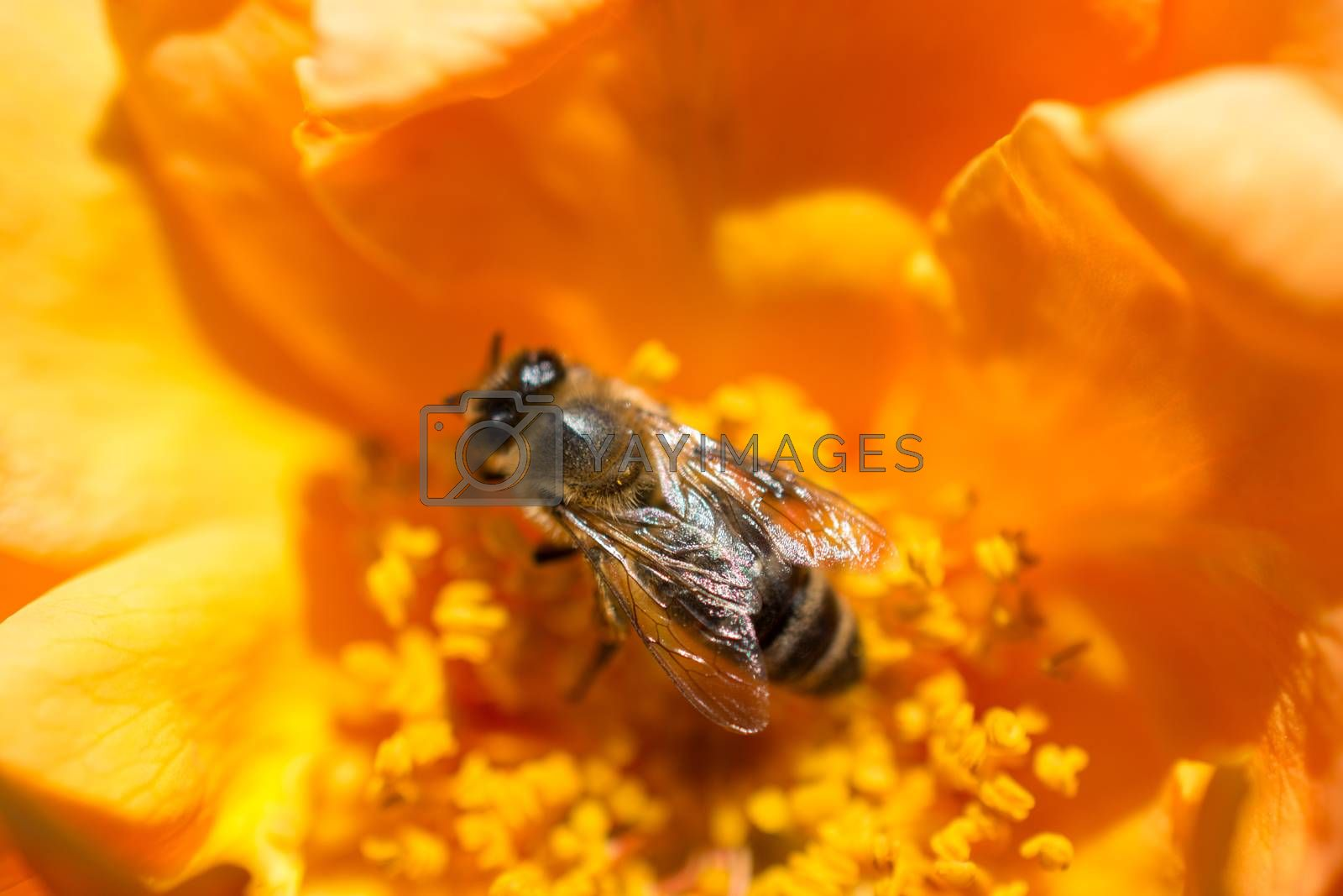 Bee is feeding on a beautiful colorful Flower pollen