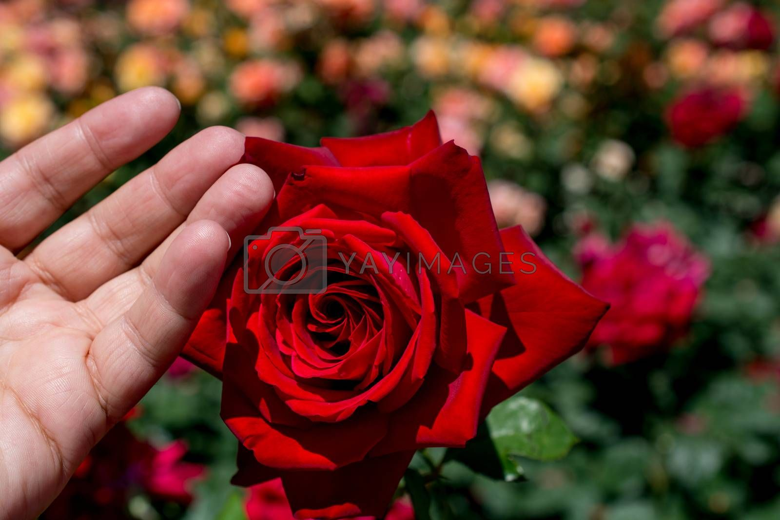 Beautiful colorful rose in hand