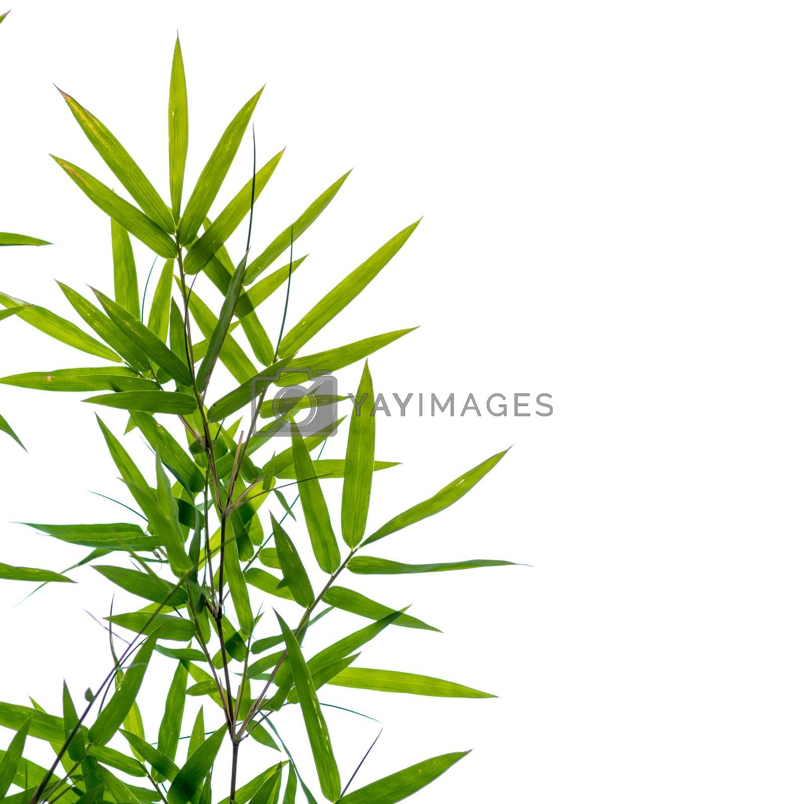 bamboo leaves on a white background