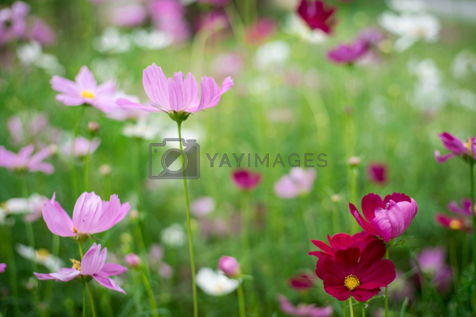 Royalty free image of pink cosmos flower in garden by antpkr