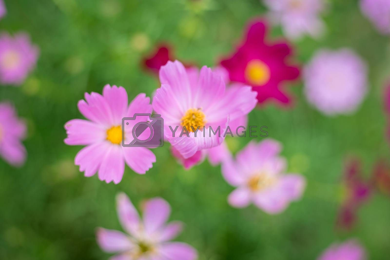 pink cosmos flower in garden, cosmos bipinnatus
