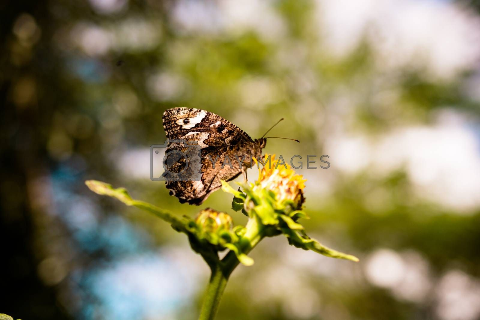 Butterfly feeding on a flower  in nature