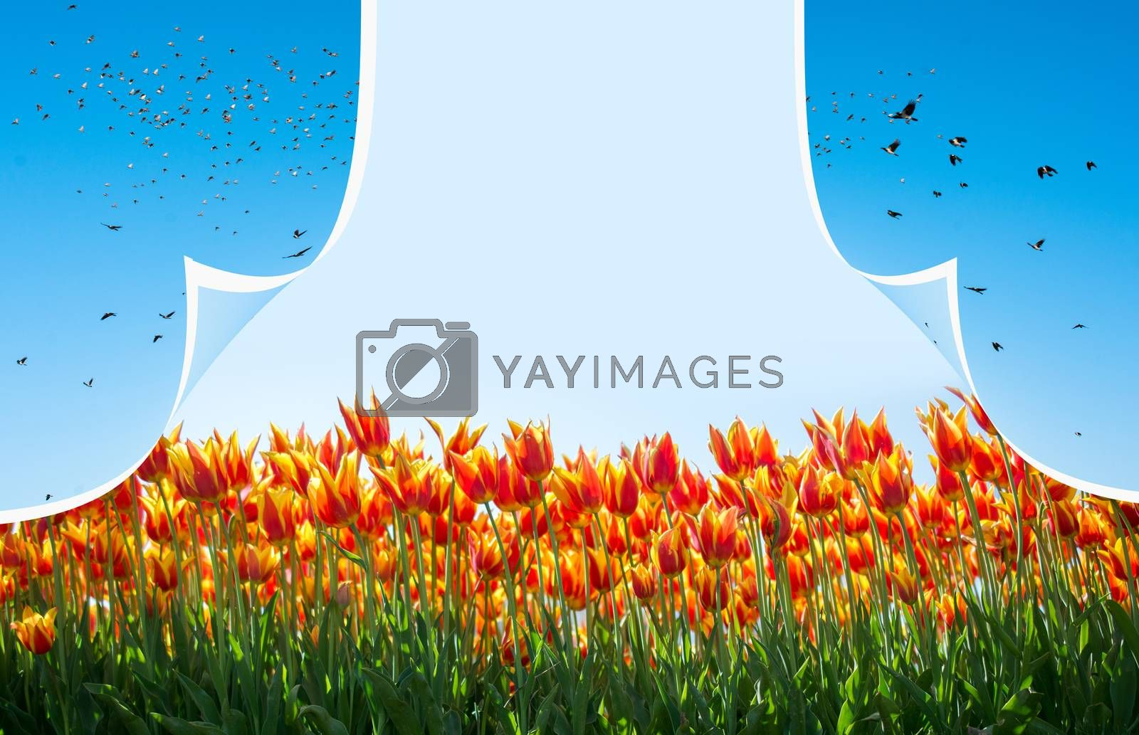 Fresh blooming colorful tulips behind a layer with birds