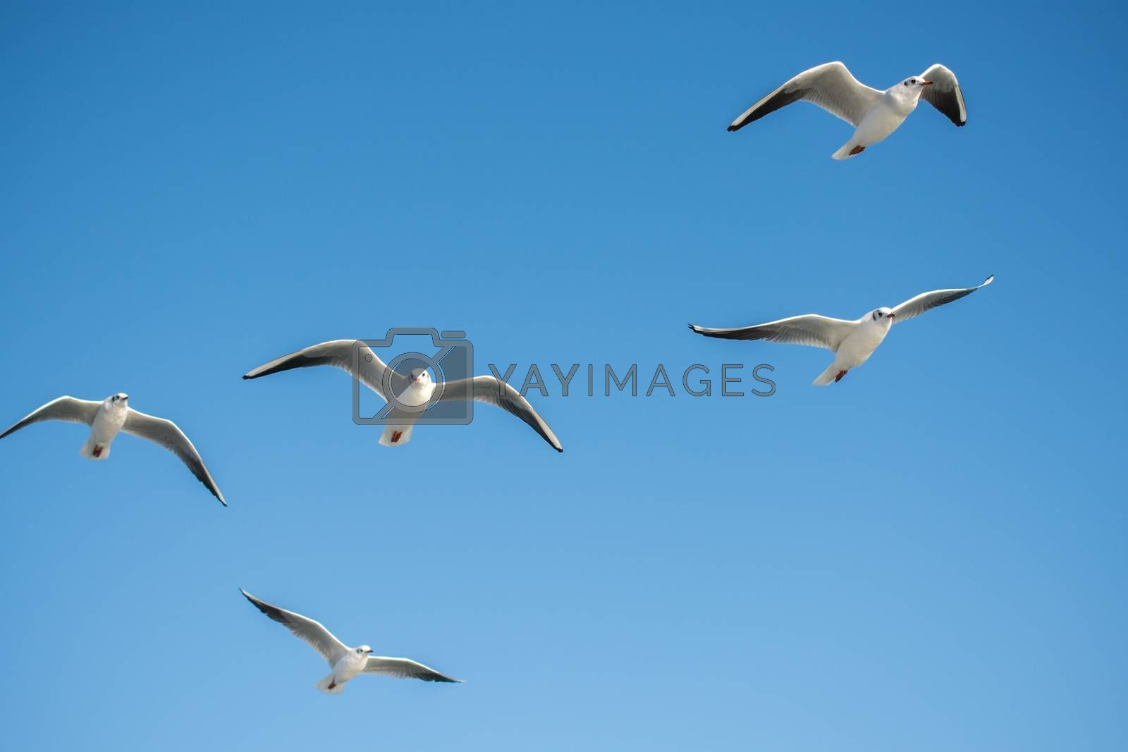 Seagull flying in a blue sky as a background