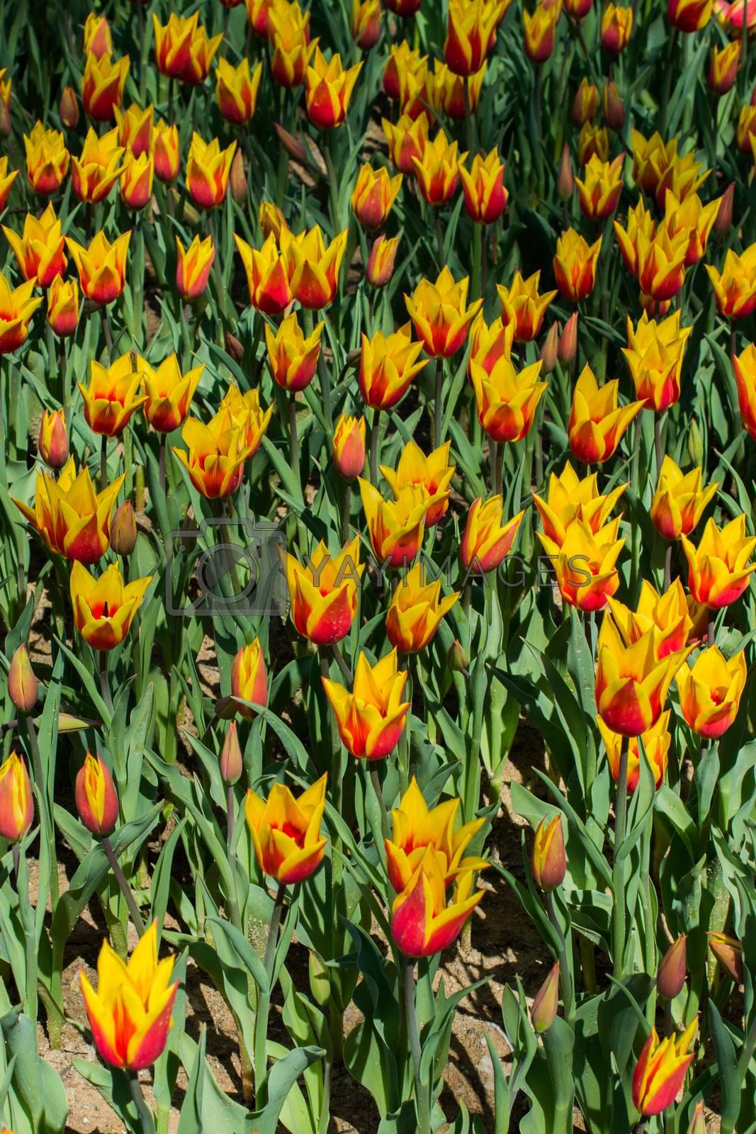 Orange color Tulips Bloom in Spring in garden