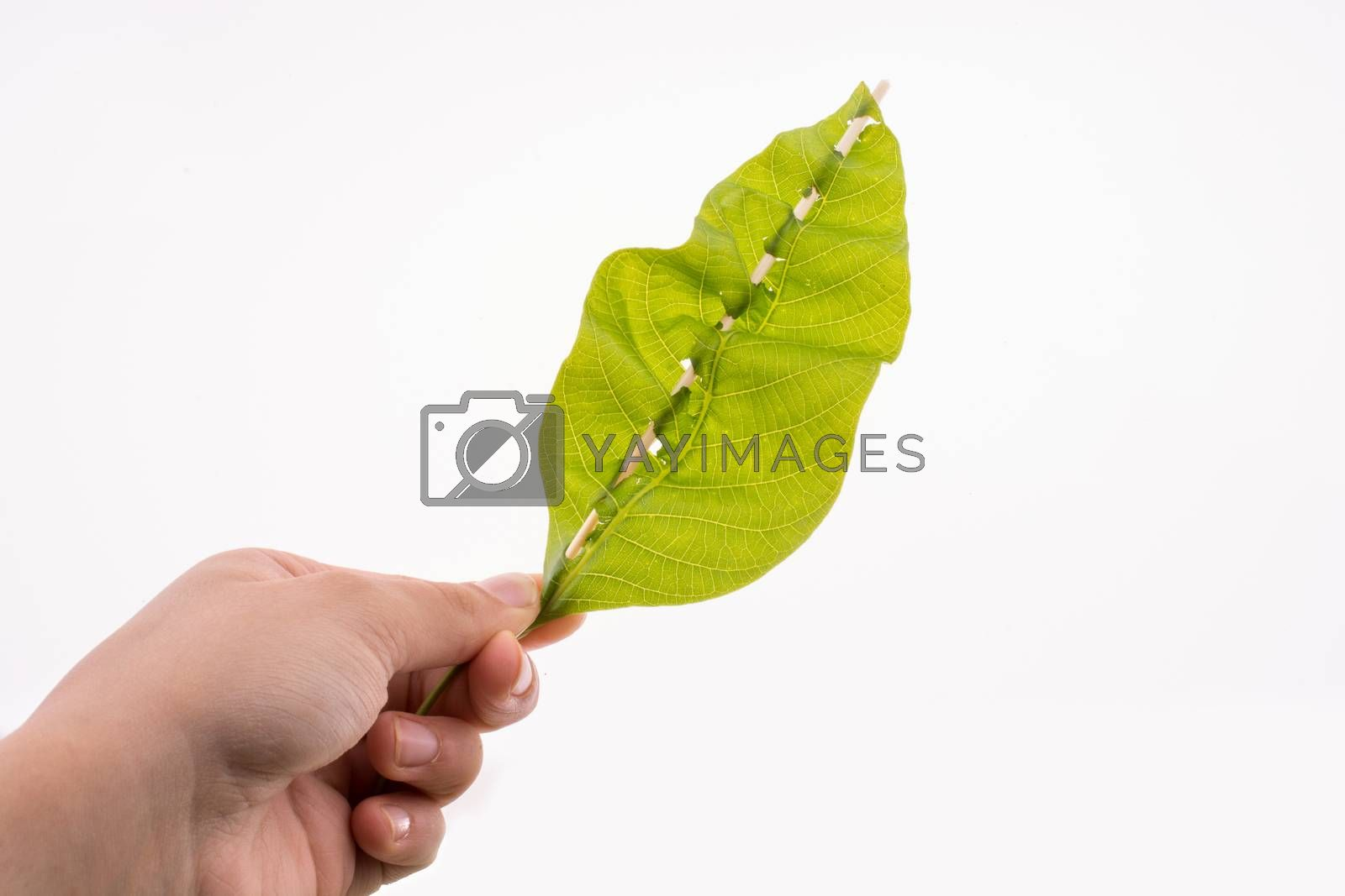 Hand holding a green leaf on a white background