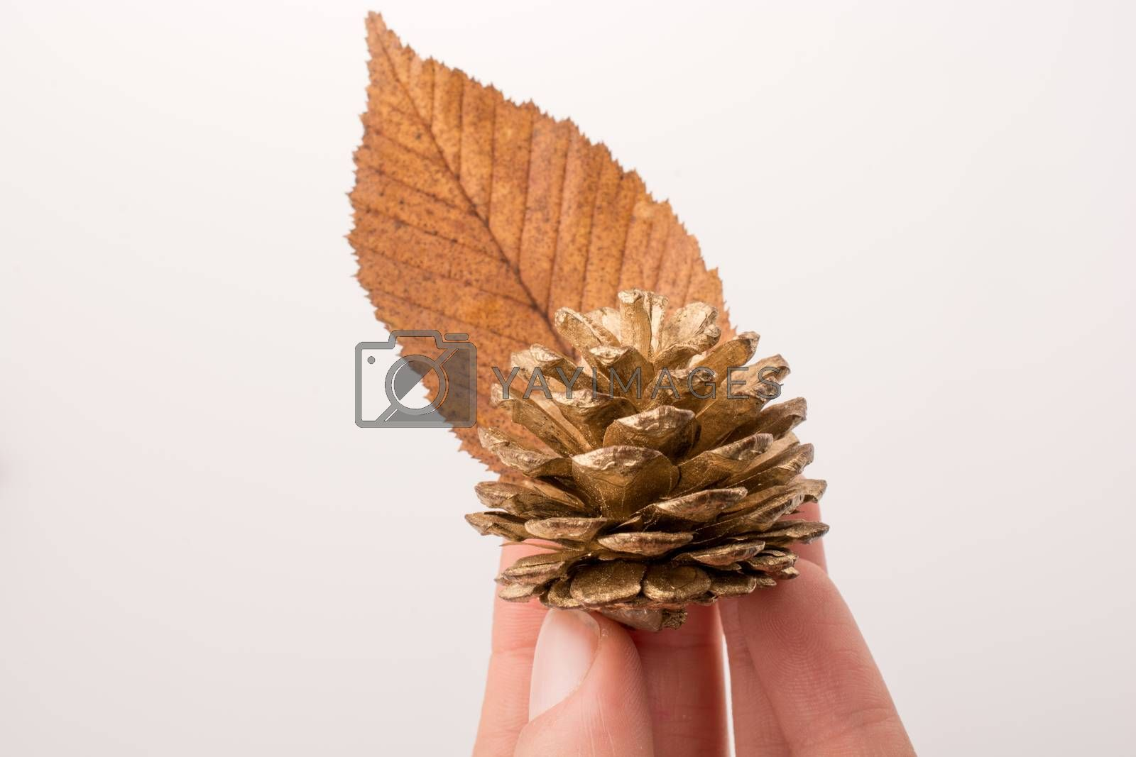 Pine cone and a leaf in hand on a white background