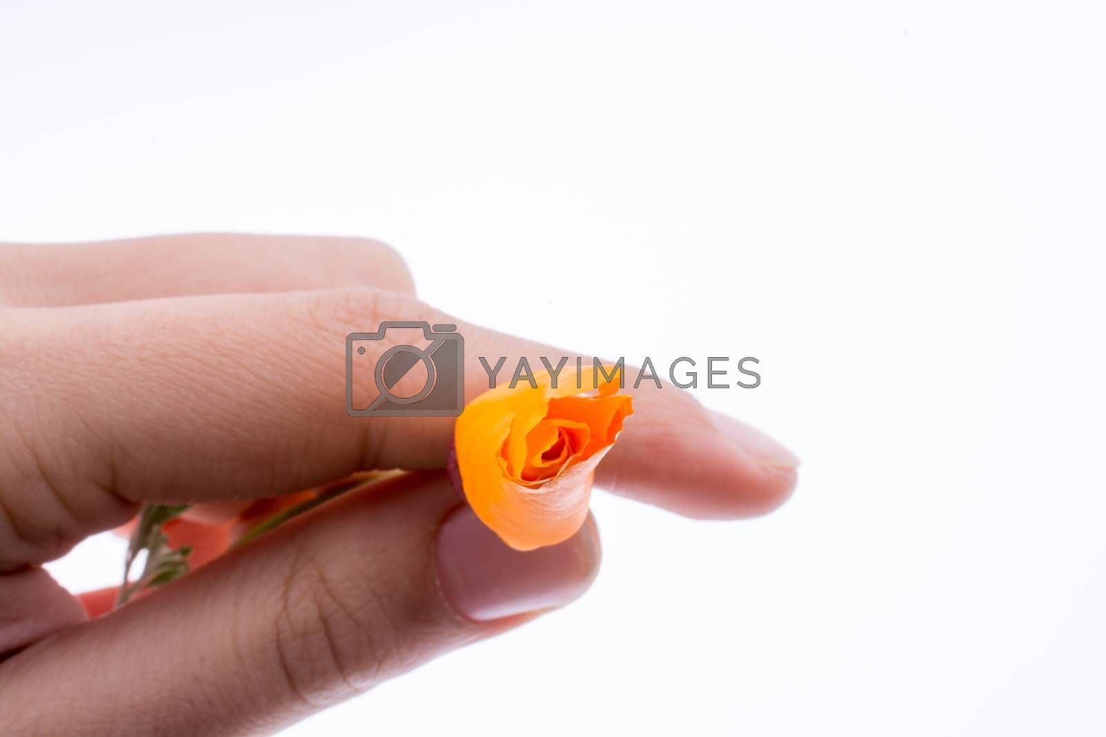 Hand holding an orange flower on a white background