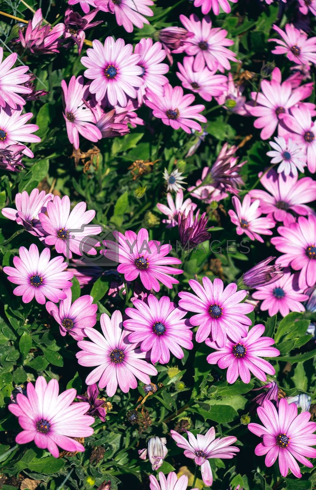Blooming spring  flowers as a colorful background