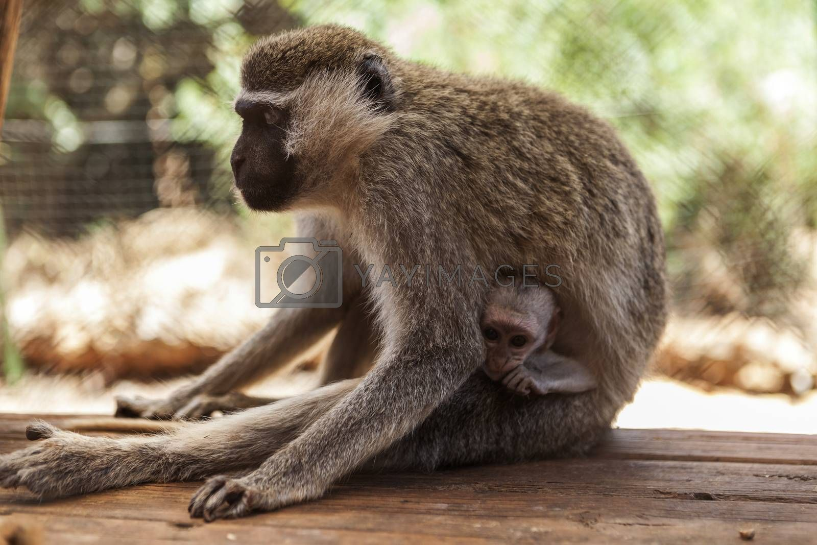 Beautiful Monkey mother with a cute little baby