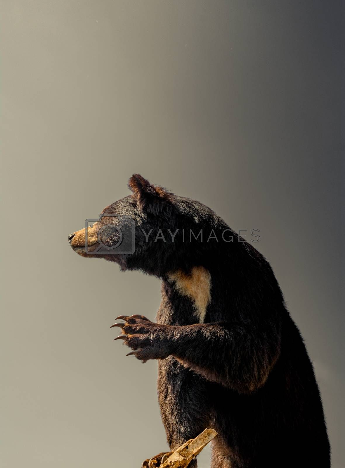 The stuffed big black bear as wild animal in the view