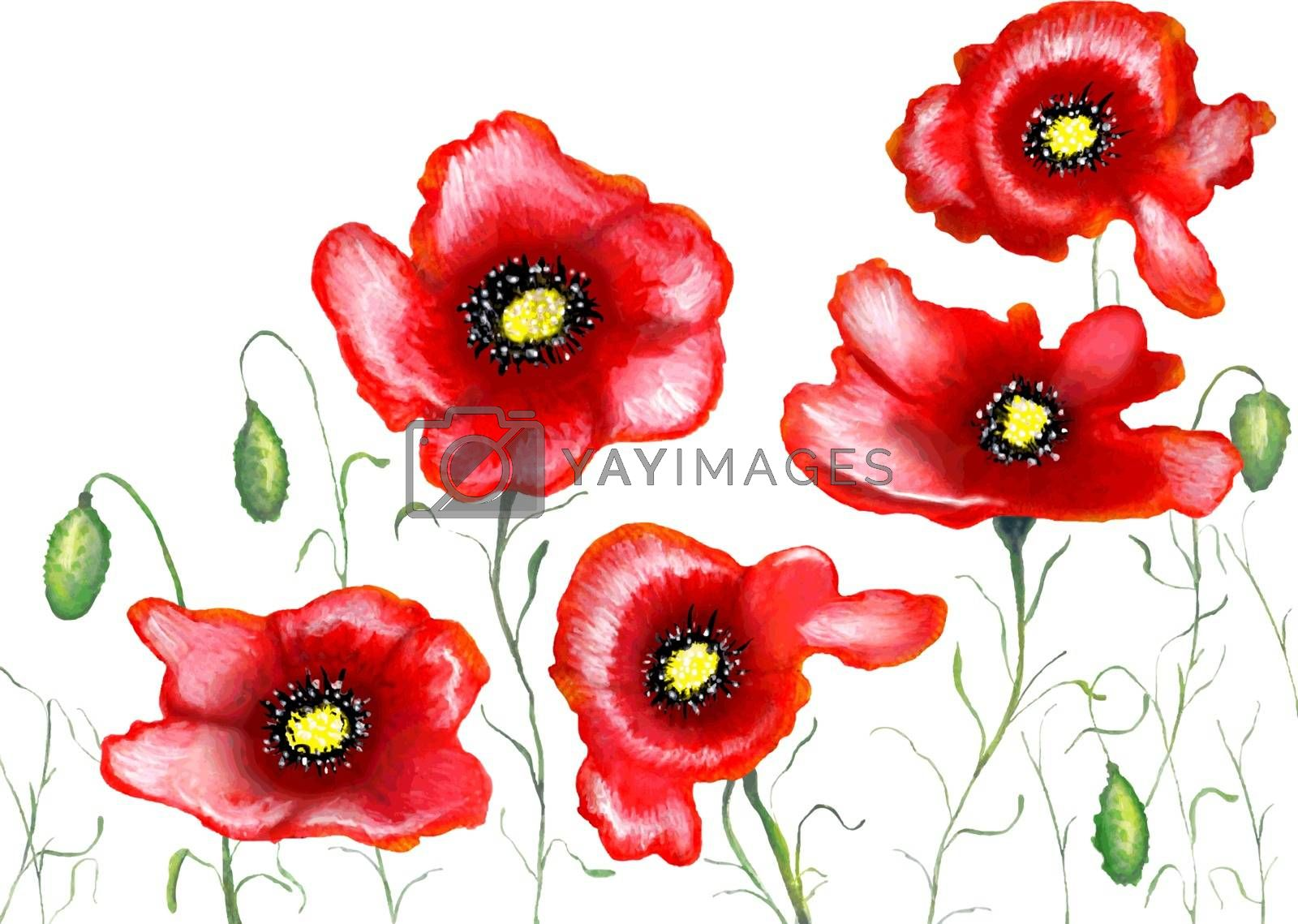 Red poppies on a white background, watercolor painting, vector illustration.