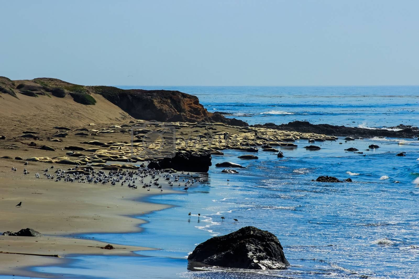 Fur seals on the coast of California, rookery marine mammals