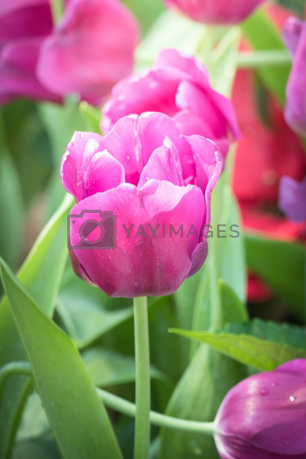 Beautiful bouquet of tulips. colorful tulips. nature background by teerawit