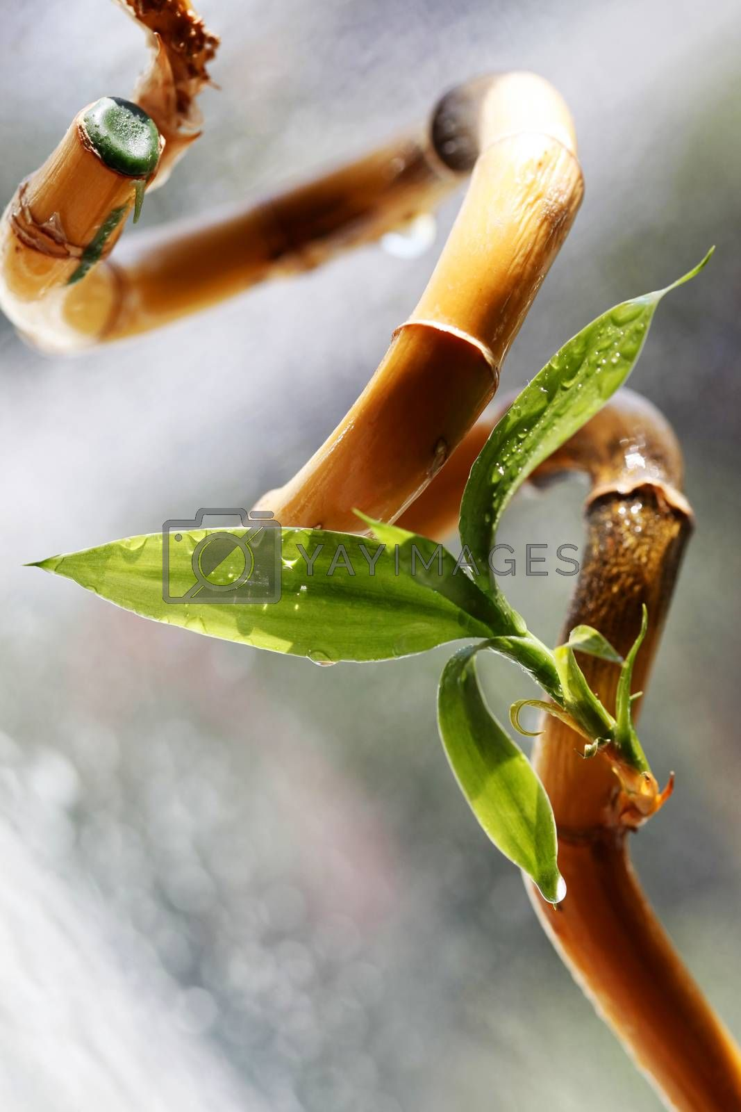 Leaves of a young bamboo on a drying up stalk