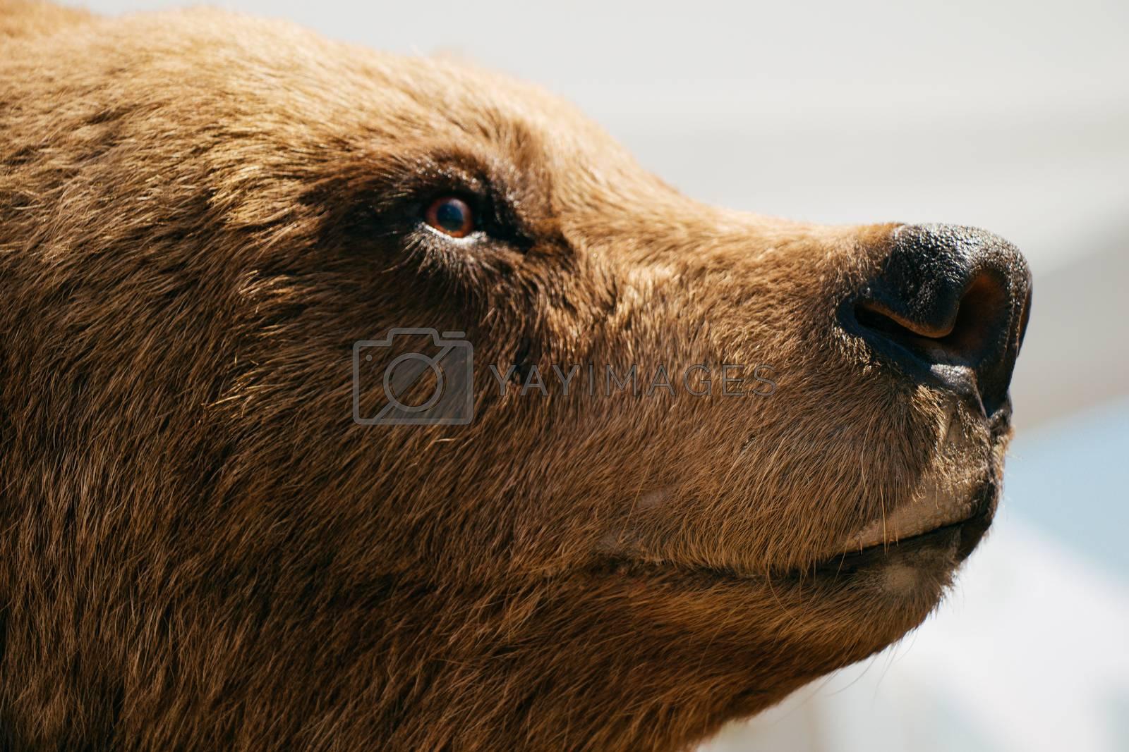 Head of a stuffed big brown bear as wild animal