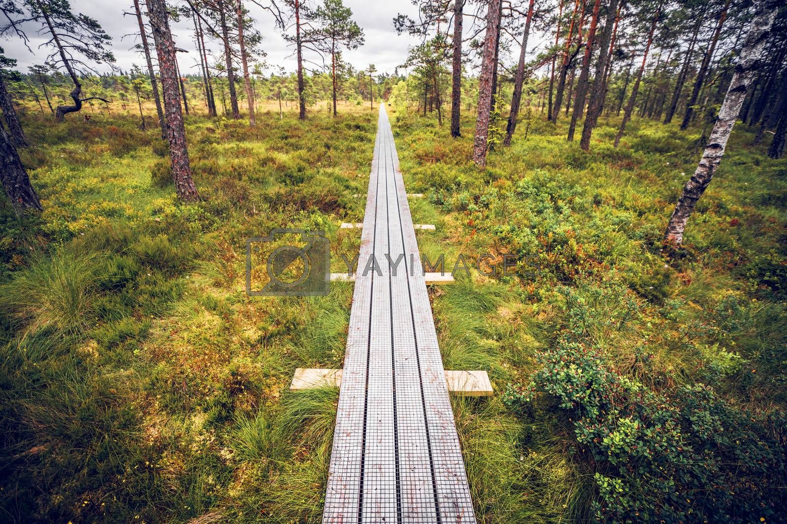 Wooden trail in a swamp with tall tress and green moss