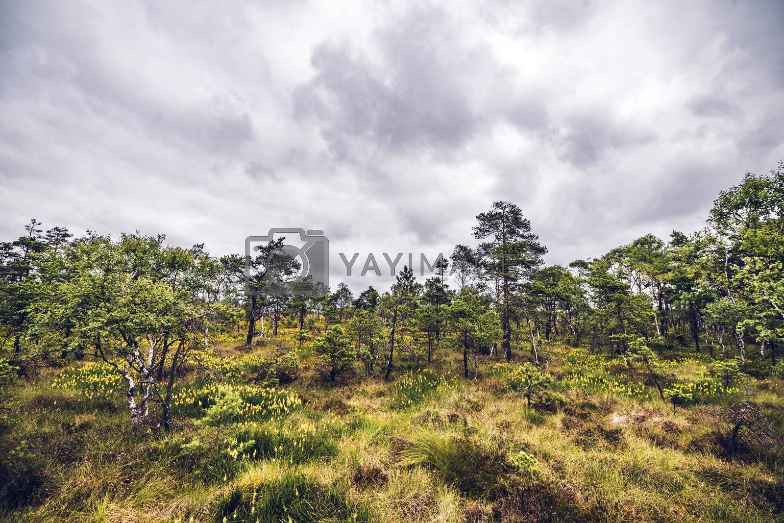 Wilderness landscape with grass and wildflowers in a moss with trees in cloudy weather