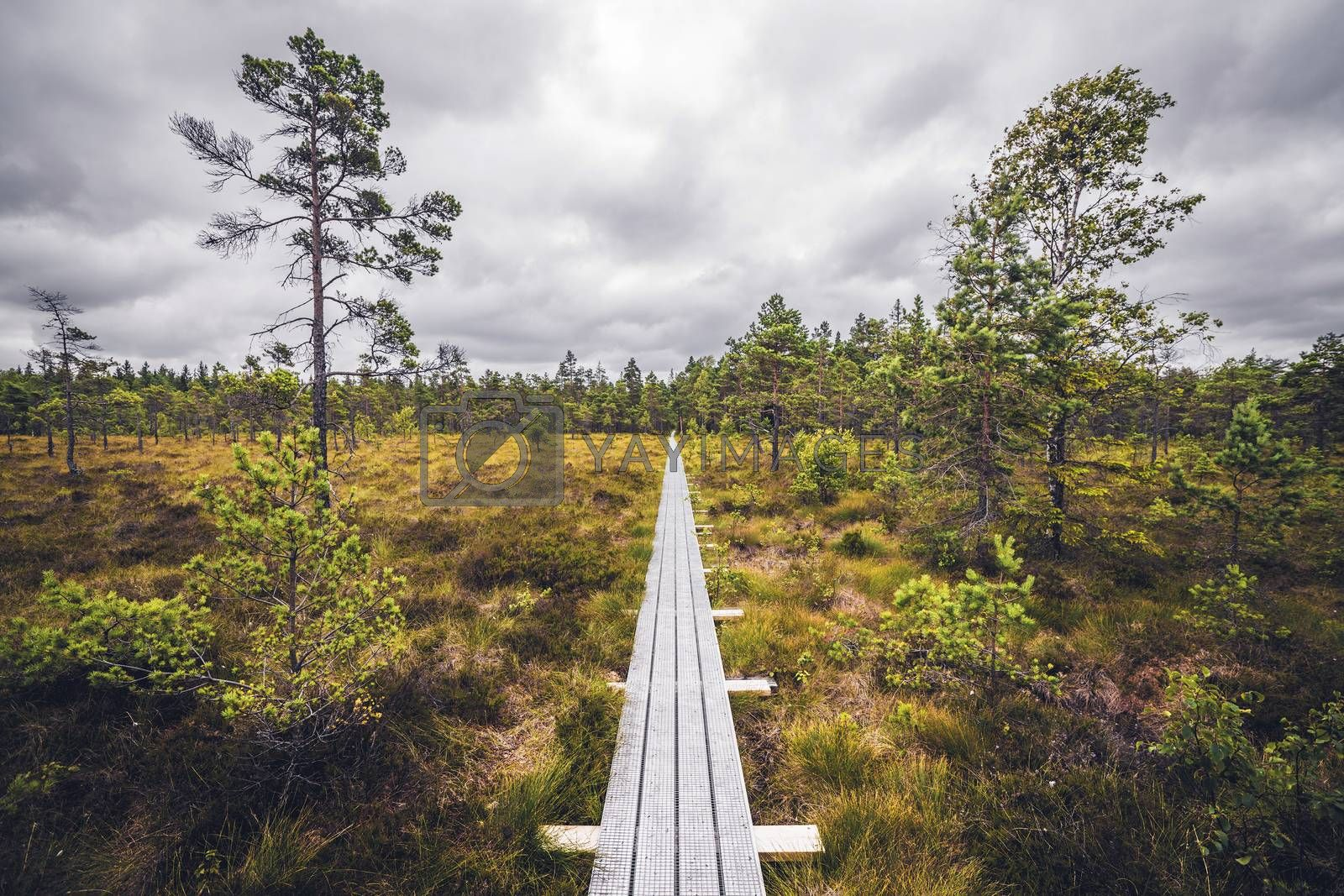 Wooden trail in the wilderness with trees and grass under a cloudy sky in a bog