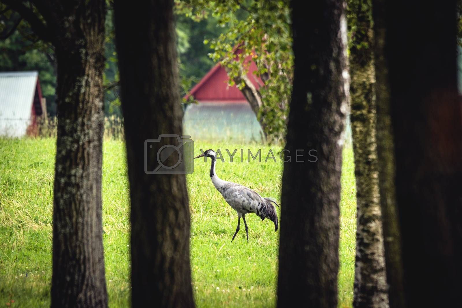 Eurasian crane in a rural environment at a countryside scene in Sweden