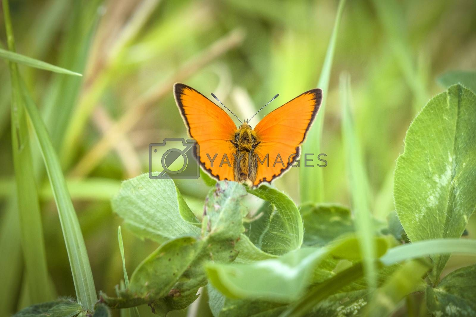 Orange Scarce Copper butterfly (Lycaena virgaureae), sitting on a green leaf on a meadow in the summer with spread wings