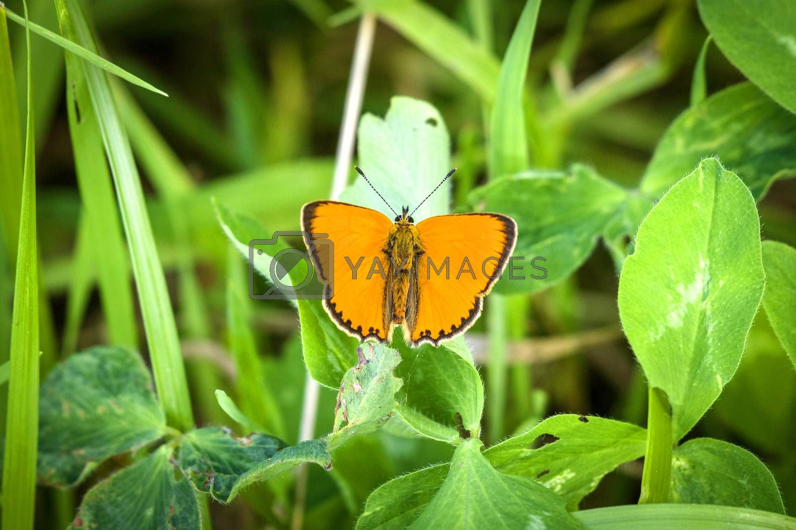 Beautiful orange Scarce Copper butterfly (Lycaena virgaureae) on a green leaf in Swedish nature in the summer