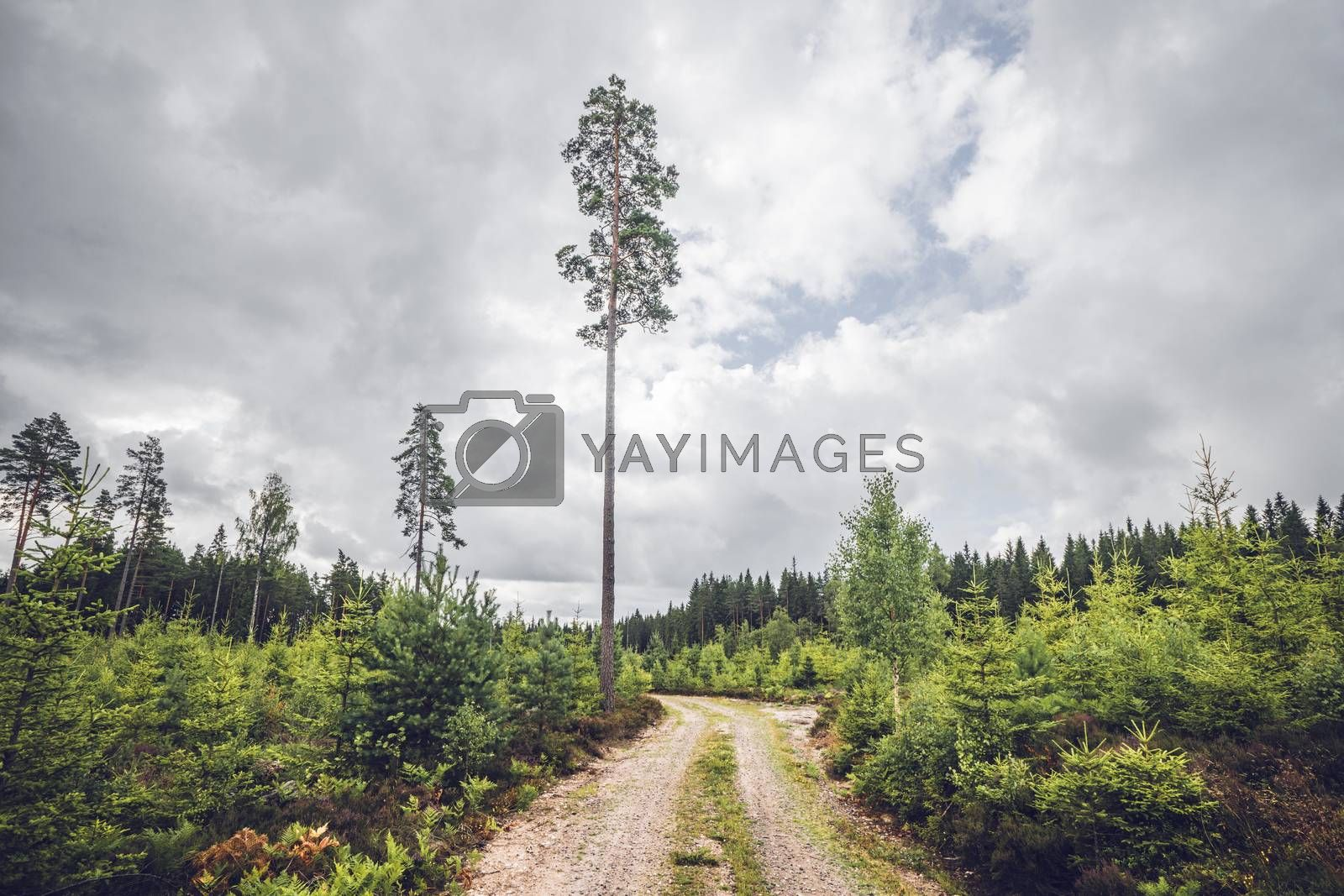 Nature trail in a Scandinavian forest with tall pine trees in the summer