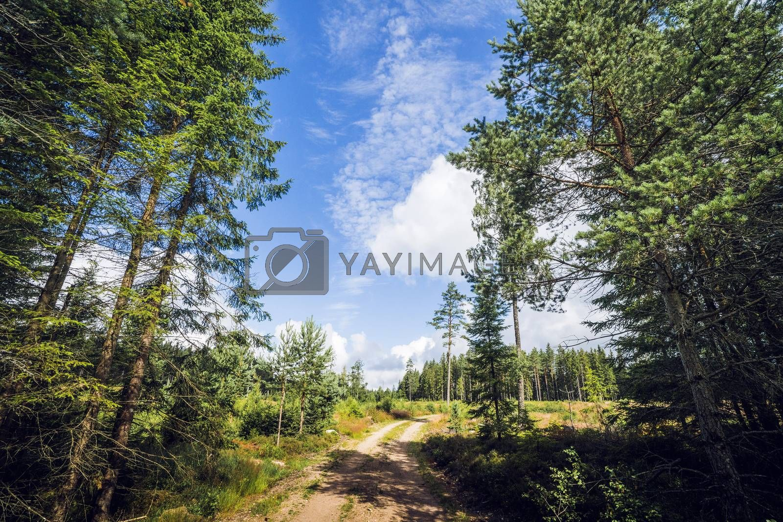 Road in a nordic forest with tall pine trees amd blue sky
