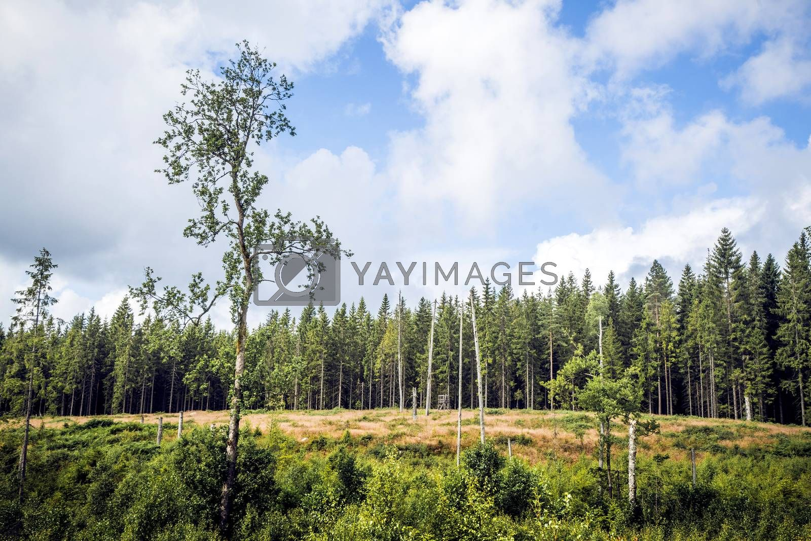 Wilderness with tall pine trees in a dry area with greem bushes and blue sky