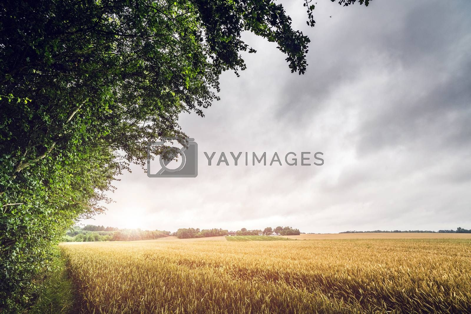 Countryside sunset on a field landscape with golden grain and cloudy sky